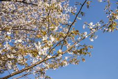 Flowers and blue sky. Mountain cherry blossoms Cerasus jamasakura in front of blue sky Stock Photo