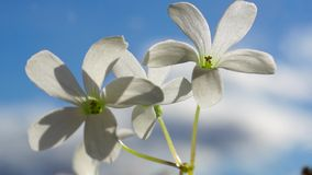 Flowers on blue sky. Sunny and vivid. Two white flowers on blue sky stock video footage