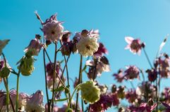 Flowers and blue sky. White and violet flowers with blue sky on background Royalty Free Stock Photo