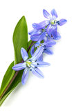 Flowers blue snowdrop. Stock Images