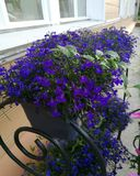 Flowers blue violets in a flowerpot on the porch in the summer royalty free stock photo