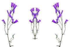Flowers bluebells Stock Photo