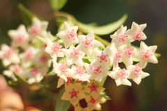 Flowers on blurred background. Hoya. wax vine. soft focus bokeh stock photo