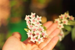 Flowers on blurred background. Hoya. wax vine. soft focus bokeh stock photography