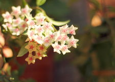 Flowers on blurred background. Hoya. wax vine. soft focus bokeh royalty free stock images