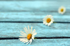 Flowers, boards. Flowers daisies between blue boards royalty free stock image