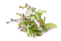 Flowers of a Bog Bilberry (Vaccinium uliginosum) with leaves Royalty Free Stock Photography