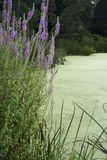 Flowers bordering wetlands royalty free stock photo