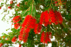 Flowers of bottlebrush tree royalty free stock image
