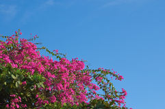 Flowers of a bougainvillaea on a background of the cloudless sky Royalty Free Stock Photography
