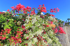 Flowers of bougainvillea Royalty Free Stock Photo