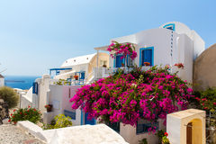 Flowers bougainvillea in Fira town - Santorini ,Crete,Greece. Stock Images