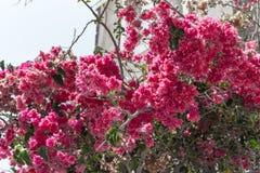 Flowers bougainvillea in Fira town - Santorini island,Crete Stock Images