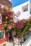 Flowers bougainvillea in Fira town - Santorini island,Greece. Royalty Free Stock Image