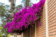 Flowers bougainvillea, Peru,South America. Royalty Free Stock Photography