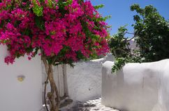 Flowers bougainvillea in Santorini, Greece Royalty Free Stock Images