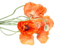 Flowers bouguet - poppies Royalty Free Stock Photography