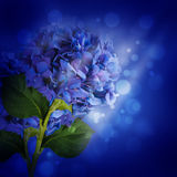Flowers in a bouquet, blue hydrangeas Royalty Free Stock Images