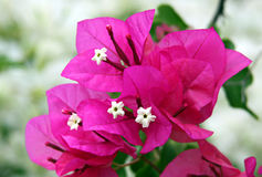 Flowers and bracts of bougainvillea Royalty Free Stock Image