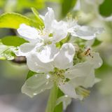 Flowers on a branch of an apple tree in spring.  Royalty Free Stock Photos