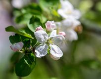 Flowers on a branch of an apple tree in spring.  Royalty Free Stock Image