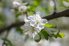 Flowers on a branch of an apple tree in spring.  Royalty Free Stock Photography