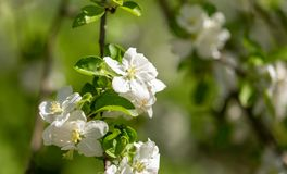 Flowers on a branch of an apple tree in spring.  Stock Images