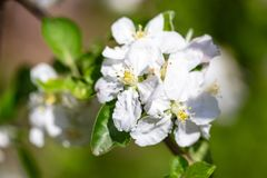 Flowers on a branch of an apple tree in spring.  Stock Photos