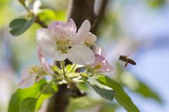 Flowers on a branch of an apple tree in spring.  Stock Photo