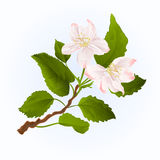 Flowers branch of apple tree vintage vector Royalty Free Stock Photography