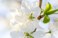 Flowers on  branch of fruit tree. Royalty Free Stock Image