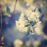 Flowers on  branch of fruit tree. Royalty Free Stock Photos