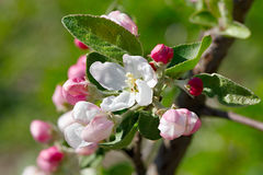 Flowers on  branch of fruit tree. Royalty Free Stock Images