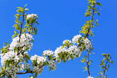 Flowers on a branch of fruit tree. Royalty Free Stock Photo