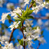 Flowers on  branch of fruit tree. Against the blue sky. Royalty Free Stock Image