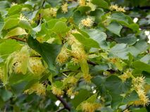 Flowers on a branch of a linden tree Stock Photography