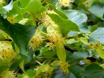 Flowers on a branch of a linden tree Royalty Free Stock Photos