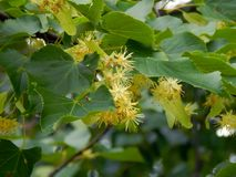 Flowers on a branch of a linden tree Stock Photos