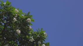 Plumeria Tree Swaying in a Breeze with Copyspace. Flowers and branches of a plumeria tree sway in a gentle wind, set against a clear, blue sky, with room for stock footage