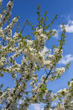 Flowers on the branches of tree. Stock Photo
