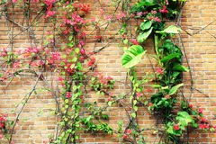 Flower flowers red brick wall. Closeup of flower flowers on old red brick wall background Royalty Free Stock Photos