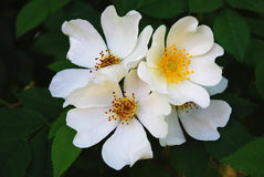 Flowers of brier. Branch with the white colors of brier Royalty Free Stock Images