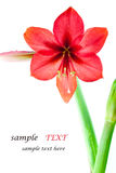Flowers bright red. Stock Photos