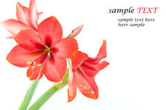 Flowers bright red. Red flowers on a white background Royalty Free Stock Image