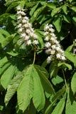 Flowers of buckeye Stock Image