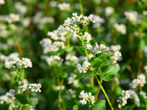 Flowers of buckwheat. Royalty Free Stock Image