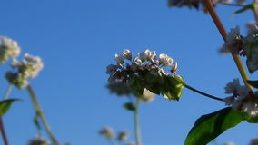 Flowers of buckwheat and buckwheat vast fields. stock video