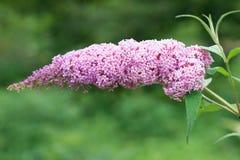 Flowers Buddleja Royalty Free Stock Image