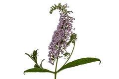 Flowers of Buddleja, lat. Buddleja davidii, isolated on white ba Royalty Free Stock Image