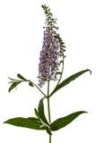 Flowers of Buddleja, lat. Buddleja davidii, isolated on white ba Stock Photos